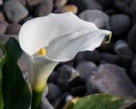 Κρίνος της Calla Στοκ φωτογραφία με δικαίωμα ελεύθερης χρήσης