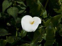 Κρίνος της Calla Στοκ εικόνες με δικαίωμα ελεύθερης χρήσης