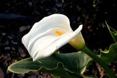 Κρίνος της Calla, κρίνος Arum, aethiopica Zantedeschia Στοκ Εικόνες