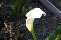 Κρίνος της Calla, κρίνος Arum, aethiopica Zantedeschia Στοκ εικόνες με δικαίωμα ελεύθερης χρήσης