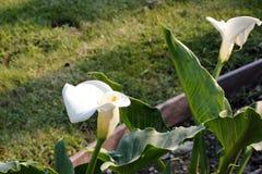 Κρίνος της Calla, κρίνος Arum, aethiopica Zantedeschia Στοκ φωτογραφίες με δικαίωμα ελεύθερης χρήσης