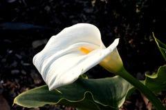 Κρίνος της Calla, κρίνος Arum, aethiopica Zantedeschia Στοκ Φωτογραφία