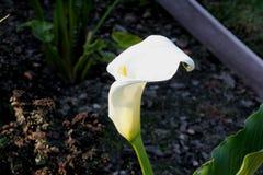 Κρίνος της Calla, κρίνος Arum, aethiopica Zantedeschia Στοκ εικόνα με δικαίωμα ελεύθερης χρήσης