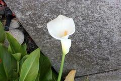 Κρίνος της Calla, κρίνος Arum, aethiopica Zantedeschia Στοκ Εικόνα