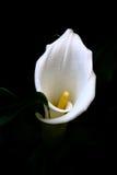 Κρίνος της Calla Lilly Arum Στοκ Εικόνα