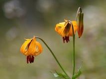 Κρίνος τιγρών - columbianum Lilium Στοκ εικόνα με δικαίωμα ελεύθερης χρήσης