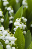 Κρίνος των λουλουδιών κοιλάδων με τις πτώσεις νερού στο πράσινο υπόβαθρο Στοκ Φωτογραφία