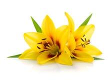 κρίνος δύο κίτρινος Στοκ εικόνα με δικαίωμα ελεύθερης χρήσης