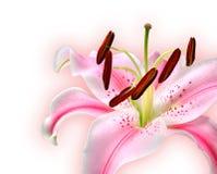 κρίνος Στοκ φωτογραφίες με δικαίωμα ελεύθερης χρήσης
