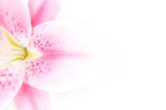 κρίνος Στοκ εικόνες με δικαίωμα ελεύθερης χρήσης