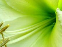 κρίνος 3 Amy Στοκ φωτογραφία με δικαίωμα ελεύθερης χρήσης