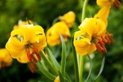 κρίνος lilium jankae λουλουδιών Στοκ φωτογραφία με δικαίωμα ελεύθερης χρήσης