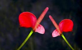 Κρίνων ή anthurium φλαμίγκο λουλούδια Στοκ φωτογραφία με δικαίωμα ελεύθερης χρήσης