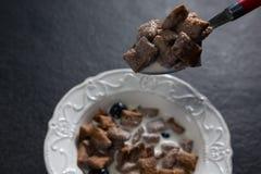 Κρίσιμη στιγμή φρυγανιάς σοκολάτας που ενυδατώνεται στο γάλα Στοκ Φωτογραφίες