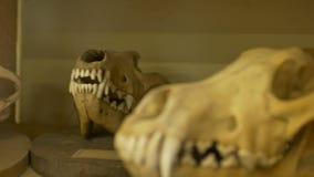 Κρανία ζώων στο εργαστήριο απόθεμα βίντεο