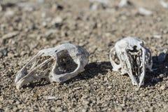 Κρανία κουνελιών στη φύση στοκ φωτογραφίες με δικαίωμα ελεύθερης χρήσης