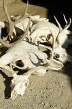 κρανία Στοκ φωτογραφία με δικαίωμα ελεύθερης χρήσης