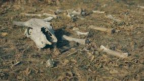 Κρανίο αγελάδων που βρίσκεται στο έδαφος απόθεμα βίντεο