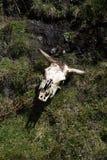 Κρανίο αγελάδων στη χλόη στην οικολογική επιφύλαξη Antisana, Ισημερινός Στοκ φωτογραφία με δικαίωμα ελεύθερης χρήσης
