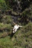 Κρανίο αγελάδων στη χλόη στην οικολογική επιφύλαξη Antisana, Ισημερινός Στοκ Εικόνες