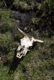 Κρανίο αγελάδων στη χλόη στην οικολογική επιφύλαξη Antisana, Ισημερινός Στοκ εικόνες με δικαίωμα ελεύθερης χρήσης