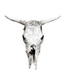 κρανίο αγελάδων Στοκ Εικόνα