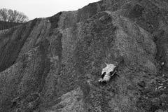 Κρανίο αγελάδων στην ξηρά λάσπη Στοκ εικόνες με δικαίωμα ελεύθερης χρήσης