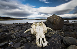 Κρανίο αγελάδων στην παραλία Στοκ εικόνες με δικαίωμα ελεύθερης χρήσης