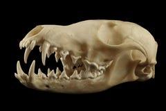 Κρανίο αλεπούδων που απομονώνεται στο μαύρο υπόβαθρο Στοκ Εικόνες
