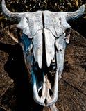 Κρανίο Αλμπέρτα Καναδάς αγελάδων Στοκ Εικόνα