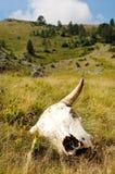 Κρανίο βοοειδών στις άγρια περιοχές Στοκ εικόνες με δικαίωμα ελεύθερης χρήσης