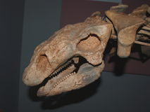 Κρανίο δεινοσαύρων της Γαστώνης Στοκ Εικόνες