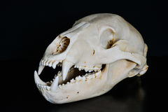 Κρανίο μιας αρκούδας Στοκ εικόνα με δικαίωμα ελεύθερης χρήσης