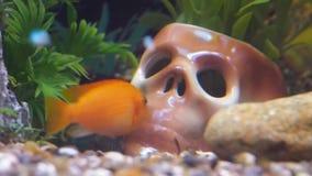 Κρανίο σε ένα ενυδρείο με τα ψάρια απόθεμα βίντεο