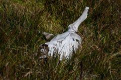 Κρανίο ταράνδων Στοκ Φωτογραφίες