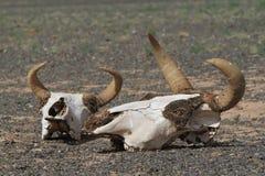 Κρανίο του αλόγου και της αγελάδας Στοκ εικόνα με δικαίωμα ελεύθερης χρήσης