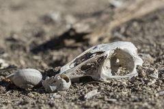 Κρανίο του κουνελιού και των σαλιγκαριών στη φύση στοκ φωτογραφίες