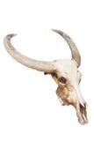 Κρανίο του Bull που απομονώνεται Στοκ Εικόνες
