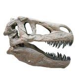 Κρανίο Rex τυραννοσαύρων Στοκ Εικόνα