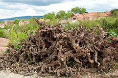 κρασί κορμών ξηρών σταφυλιών Στοκ εικόνες με δικαίωμα ελεύθερης χρήσης