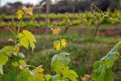 Κρασί που παράγει, τομείς αμπέλων Φύλλα αμπέλων κινηματογραφήσεων σε πρώτο πλάνο Στοκ εικόνα με δικαίωμα ελεύθερης χρήσης
