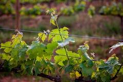Κρασί που παράγει, τομείς αμπέλων Φύλλα αμπέλων κινηματογραφήσεων σε πρώτο πλάνο Στοκ Εικόνες