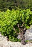 κρασί φυτών Στοκ φωτογραφίες με δικαίωμα ελεύθερης χρήσης