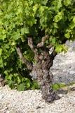 κρασί φυτών Στοκ φωτογραφία με δικαίωμα ελεύθερης χρήσης