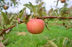 Κρασί Crsip η κόκκινη Apple Στοκ Εικόνες
