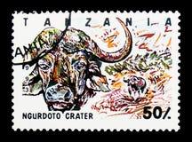 Κρατήρας Ngurdoto, αφρικανικό Buffalo (Syncerus caffer), εθνική ισοτιμία Στοκ φωτογραφίες με δικαίωμα ελεύθερης χρήσης