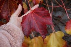 Κρατήστε το κόκκινο φύλλο Στοκ εικόνα με δικαίωμα ελεύθερης χρήσης
