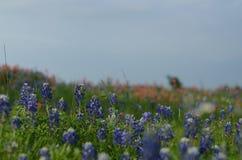 Κρατικό λουλούδι Bluebonnet του Τέξας Στοκ εικόνες με δικαίωμα ελεύθερης χρήσης