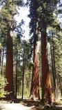 Κρατικό πάρκο δέντρων Calaveras μεγάλο στοκ εικόνες