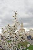Κρατικό πανεπιστήμιο της Μόσχας ανθίζοντας δέντρο μήλων Στοκ Φωτογραφίες